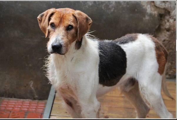 """urgent!! """"actif"""" beagle de 13 ans, 7 ans de refuge.. aidez le svp  Actif910"""