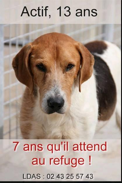 """urgent!! """"actif"""" beagle de 13 ans, 7 ans de refuge.. aidez le svp  Actif_10"""