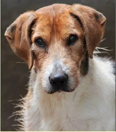 """urgent!! """"actif"""" beagle de 13 ans, 7 ans de refuge.. aidez le svp  Actif_11"""