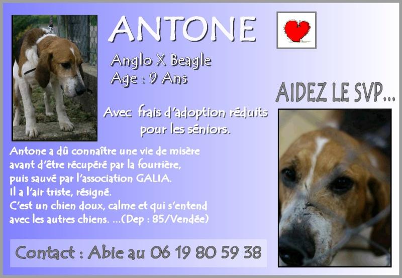 Antone, croisé beagle X anglo de 9 ans. une vie de misere.. aidez le svp.. Affich10