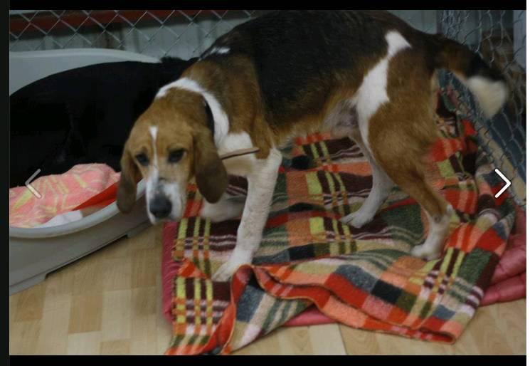Antone, croisé beagle X anglo de 9 ans. une vie de misere.. aidez le svp.. Antone16