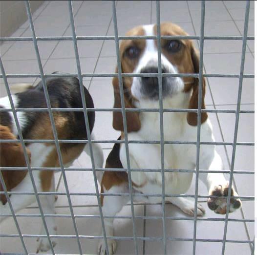 12 beagles à adopter avant euthanasie.. Beagle10