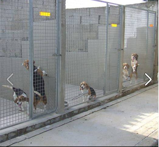 12 beagles à adopter avant euthanasie.. Beagle11