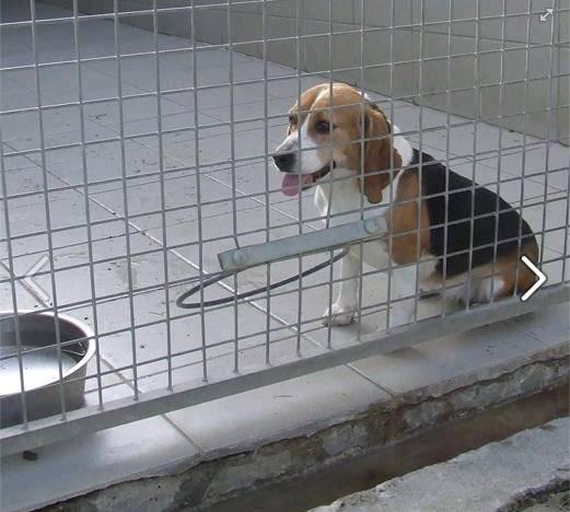 12 beagles à adopter avant euthanasie.. Beagle12