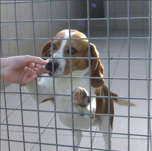 12 beagles à adopter avant euthanasie.. Beagle13