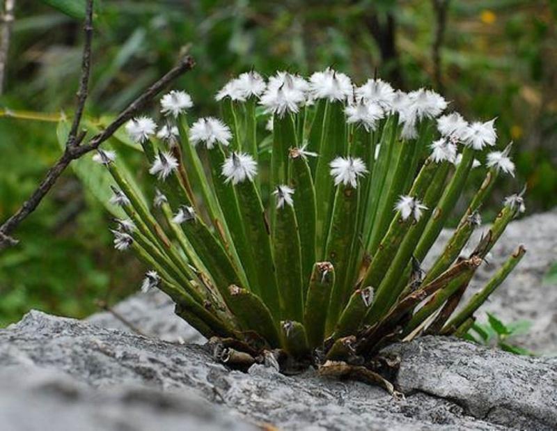 Agave albopilosa K-agav10