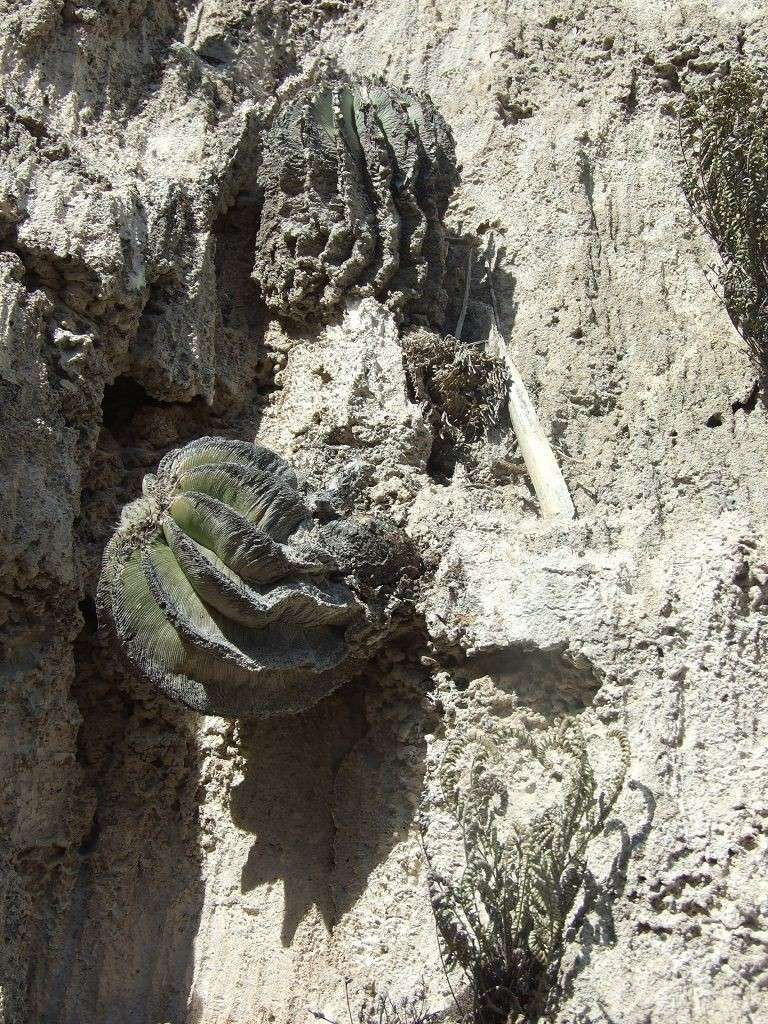 Aztekium hintonii und Geohintonia mexicana am Standort K-dscf28