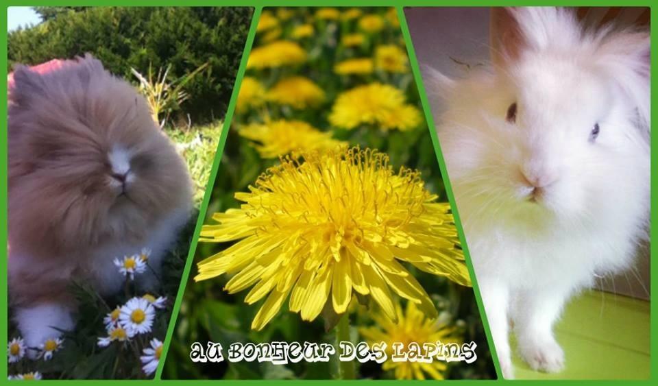 Les lapins de compagnie