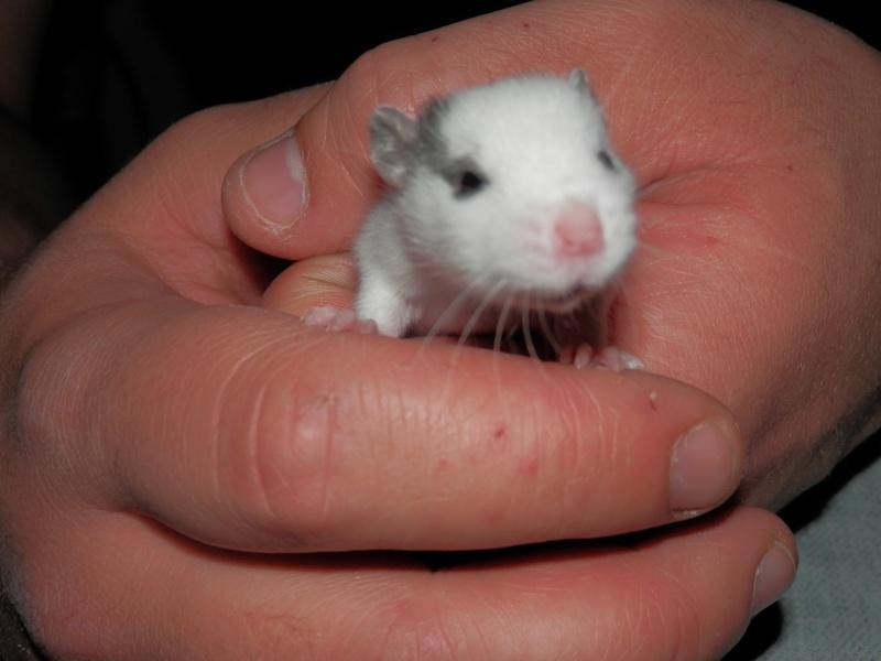 (Alsace) les 13 Petits Ratons de Cerise P5210228