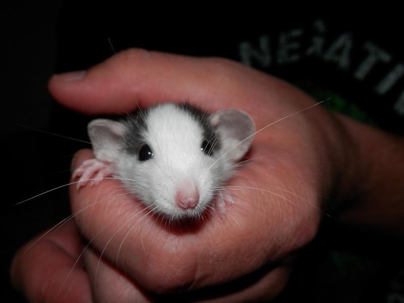(Alsace) les 13 Petits Ratons de Cerise P5300013