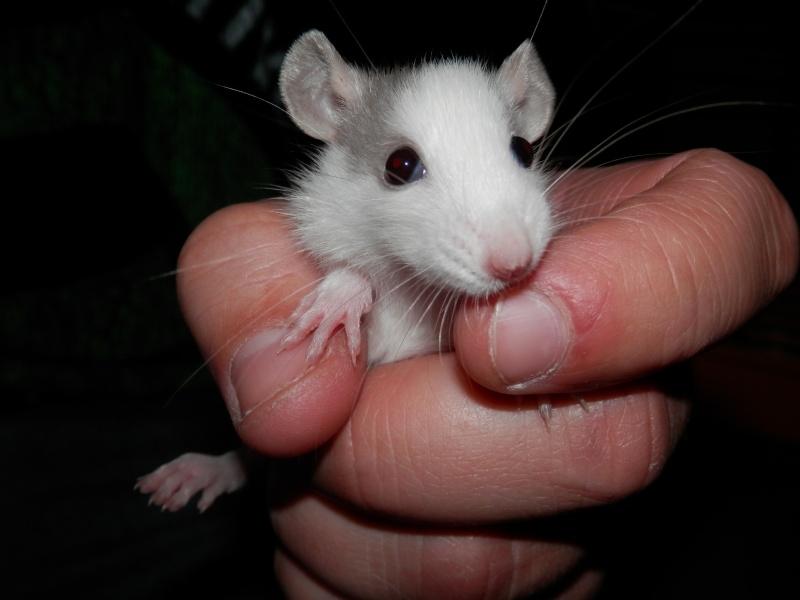 (Alsace) les 13 Petits Ratons de Cerise P5300025