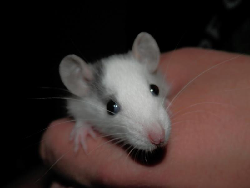 (Alsace) les 13 Petits Ratons de Cerise P5300028
