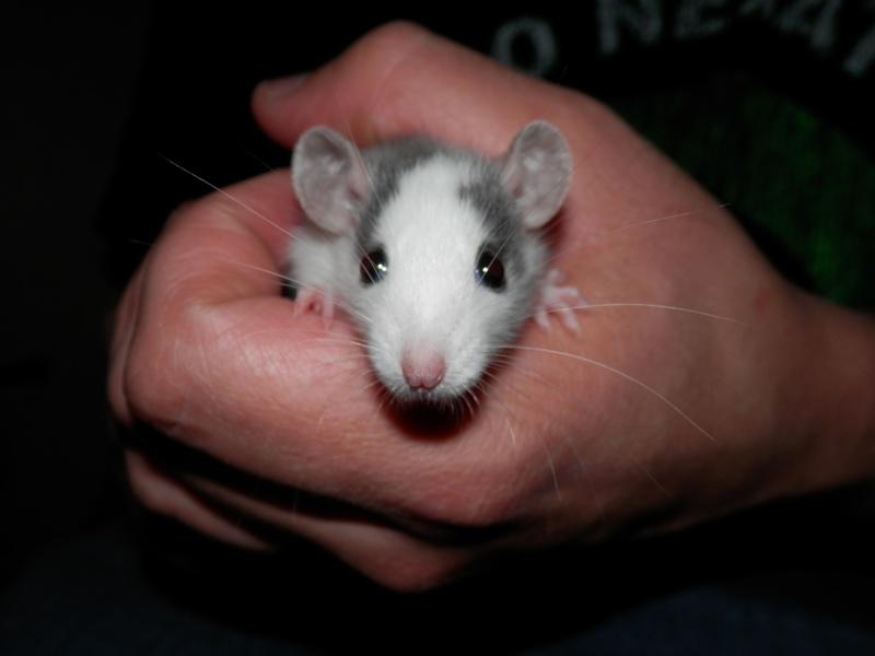 (Alsace) les 13 Petits Ratons de Cerise P5300035