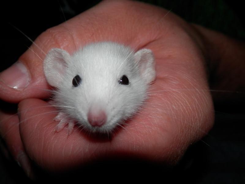 (Alsace) les 13 Petits Ratons de Cerise P5300038