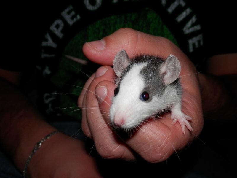 (Alsace) les 13 Petits Ratons de Cerise P5300047
