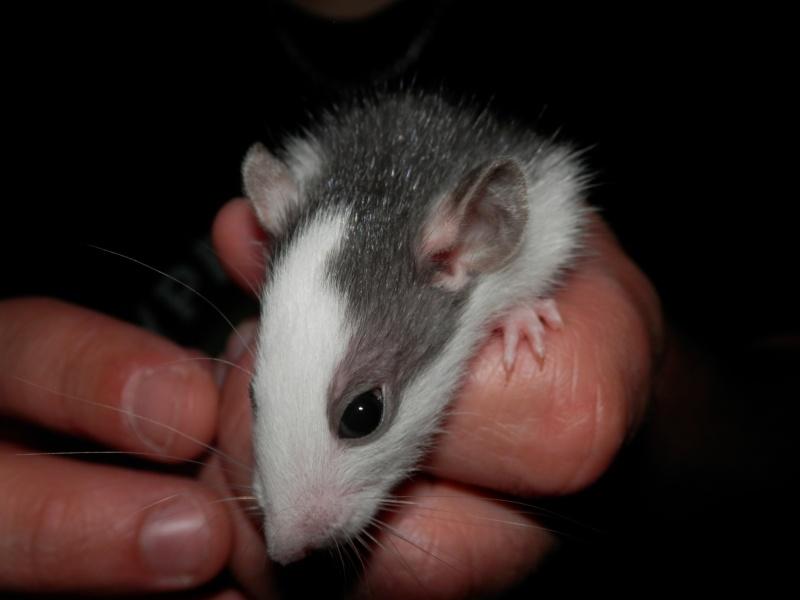 (Alsace) les 13 Petits Ratons de Cerise P5300050