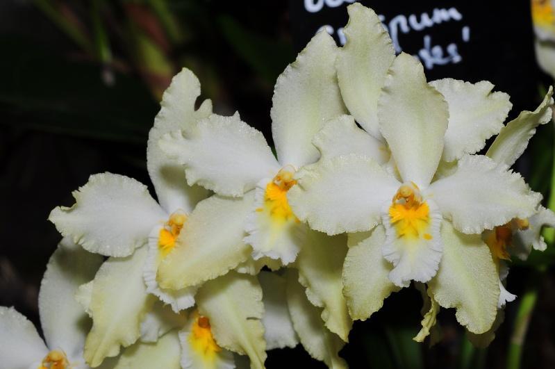 Odontoglossum crispum Odonto14