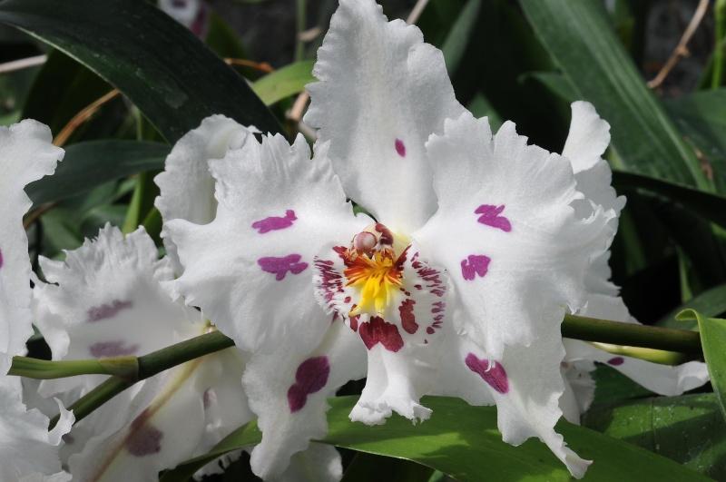 Odontoglossum crispum Odonto17