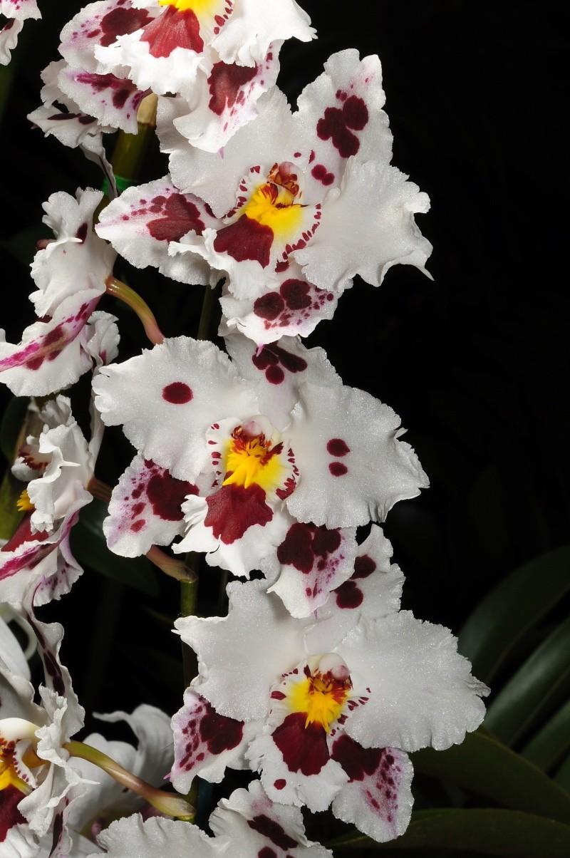 Odontoglossum crispum Odonto18