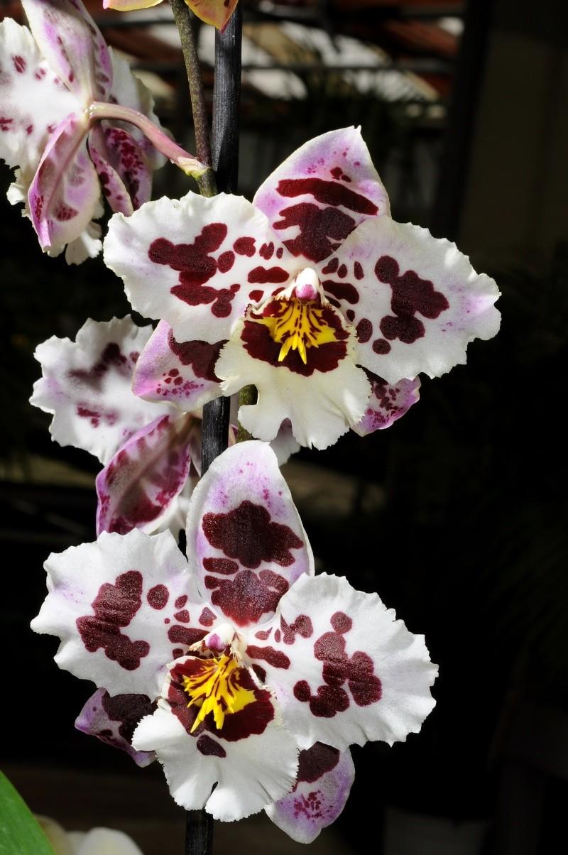 Odontoglossum crispum Odonto19