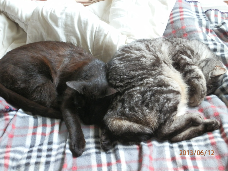 ERNEST,, beau chat gris tigre Choccy16