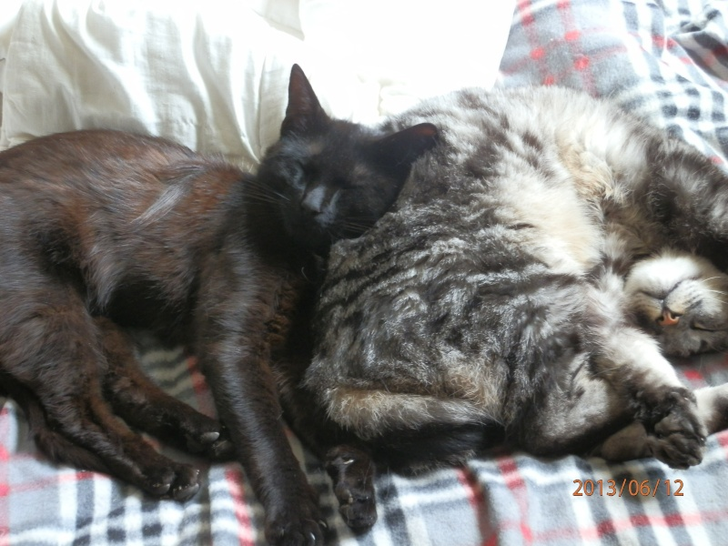 ERNEST,, beau chat gris tigre Choccy17
