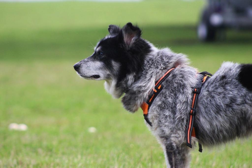 Scottie - mâle - Fourrière de Târgu Frumos - Frais d'adoption réduits - En famille d'accueil dans le 67 12134610