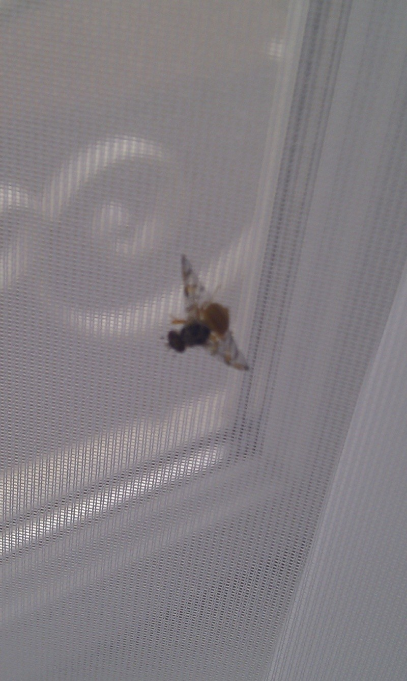 D'où peuvent venir ces sortes de mouches ? [RESOLU] Imag0110