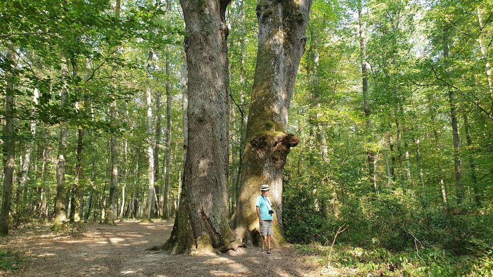Les arbres de Colbert 0112