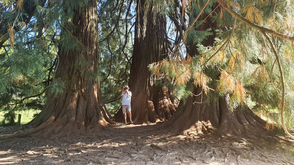 Les arbres de Colbert 0213