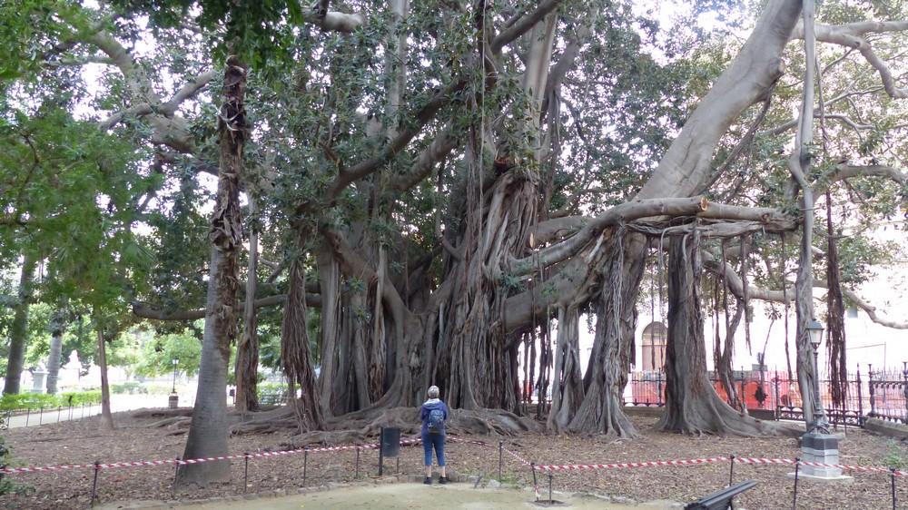 Les arbres de Colbert 0413