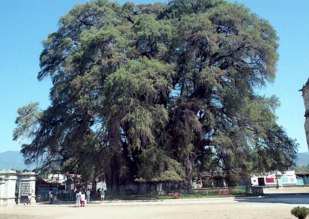 Les arbres de Colbert 0512