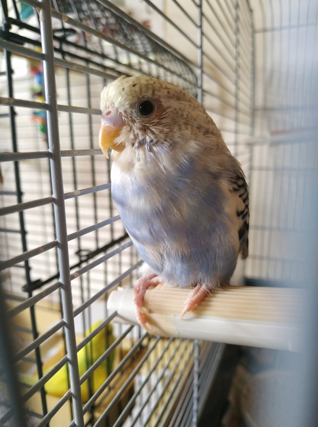 Nouveaux compagnons : jeune perruche qui a un peu de mal 64976111