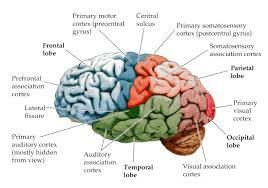 Psychologie de comptoir  - Page 16 Cervea10