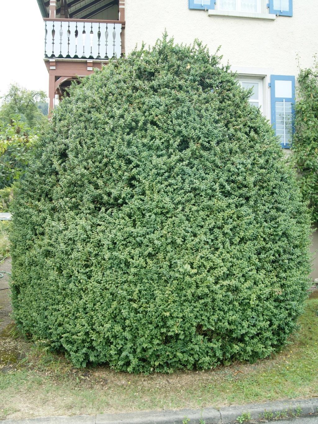 Bekämpfung des Buchsbaumzünslers (Abspaltung aus dem Thema Anwenderschutz beim Pflanzenschutz) - Seite 2 Dsc01310