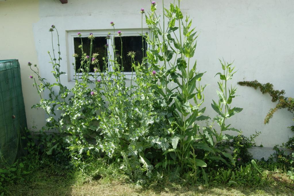 Seltsamer Fund im Garten, panaschierte Distel?: gelöst: Silybum marianum (Mariendistel) Dsc02917