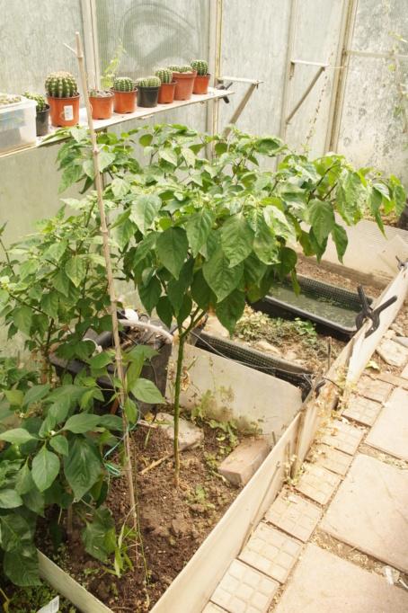 Solanaceae - Tomaten & Chili, aber auch Petunien und andere Schönheiten ;) - Seite 71 Dsc02919
