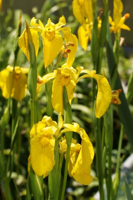 Schwertliliengewächse: Iris, Tigrida, Ixia, Sparaxis, Crocus, Freesia, Montbretie u.v.m. - Seite 27 Dsc03611