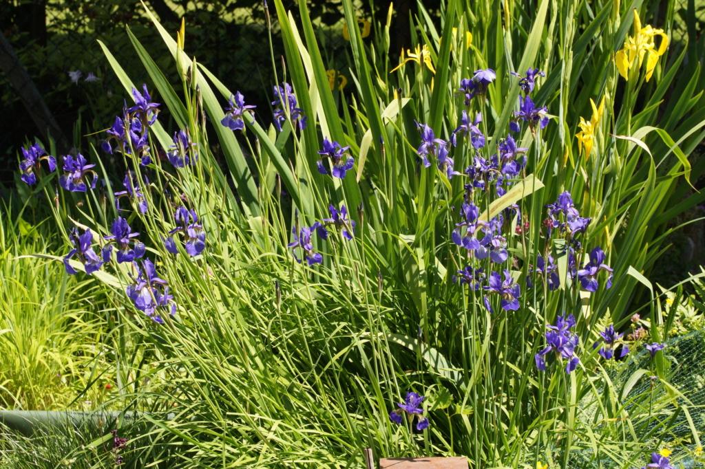 Schwertliliengewächse: Iris, Tigrida, Ixia, Sparaxis, Crocus, Freesia, Montbretie u.v.m. - Seite 27 Dsc03612