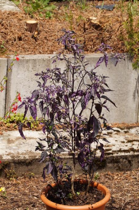 Solanaceae (Nachtschatten) - Tomaten & Chili, aber auch Petunien und andere Schönheiten - Seite 4 Dsc03724
