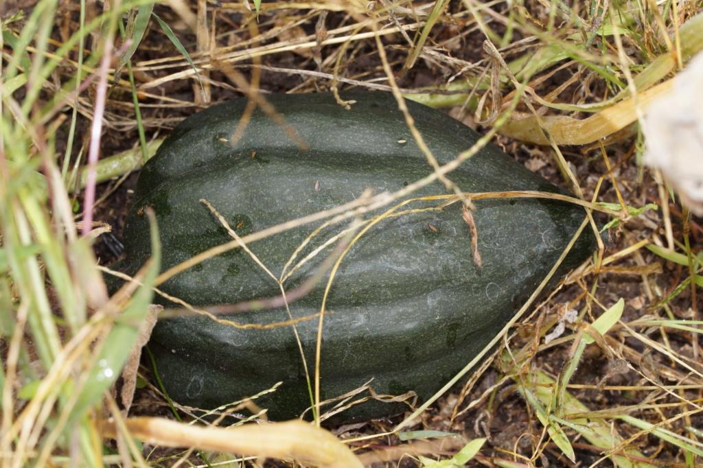 Kürbisgewächse - Cucurbitaceae: Melonen, Gurken, Kürbisse und Zucchini - alle Verteter der nichtsukkulenten Arten - Seite 16 Dsc04614