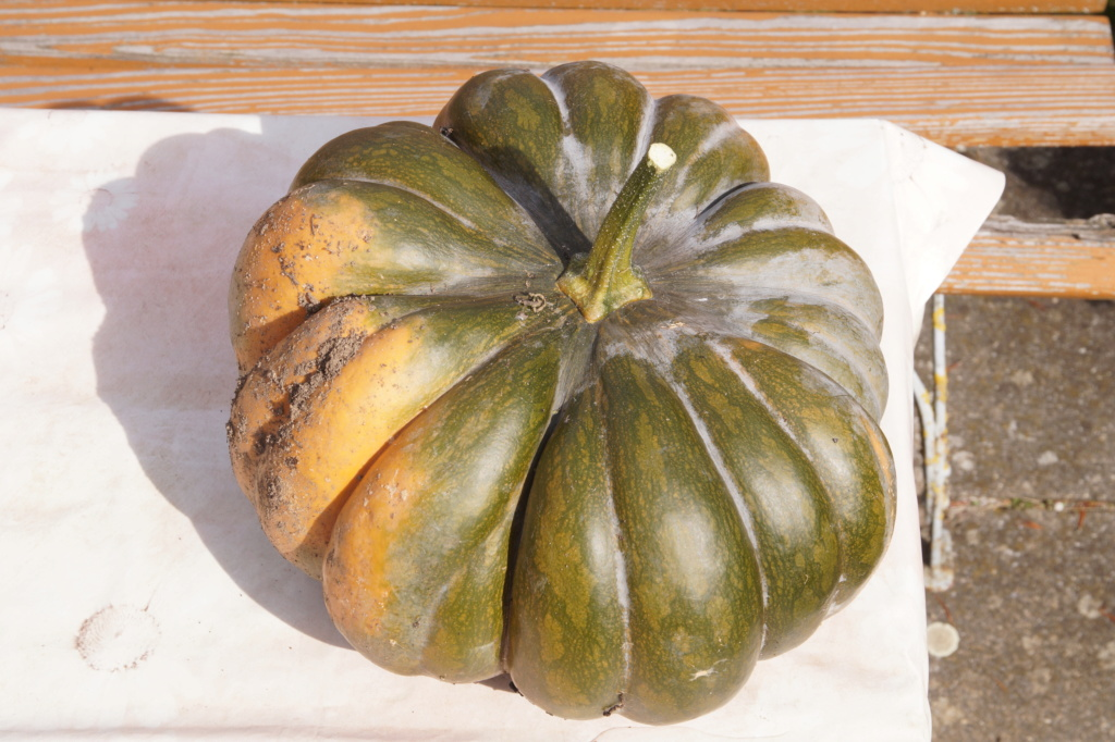 Kürbisgewächse - Cucurbitaceae: Melonen, Gurken, Kürbisse und Zucchini - alle Verteter der nichtsukkulenten Arten - Seite 17 Dsc04713