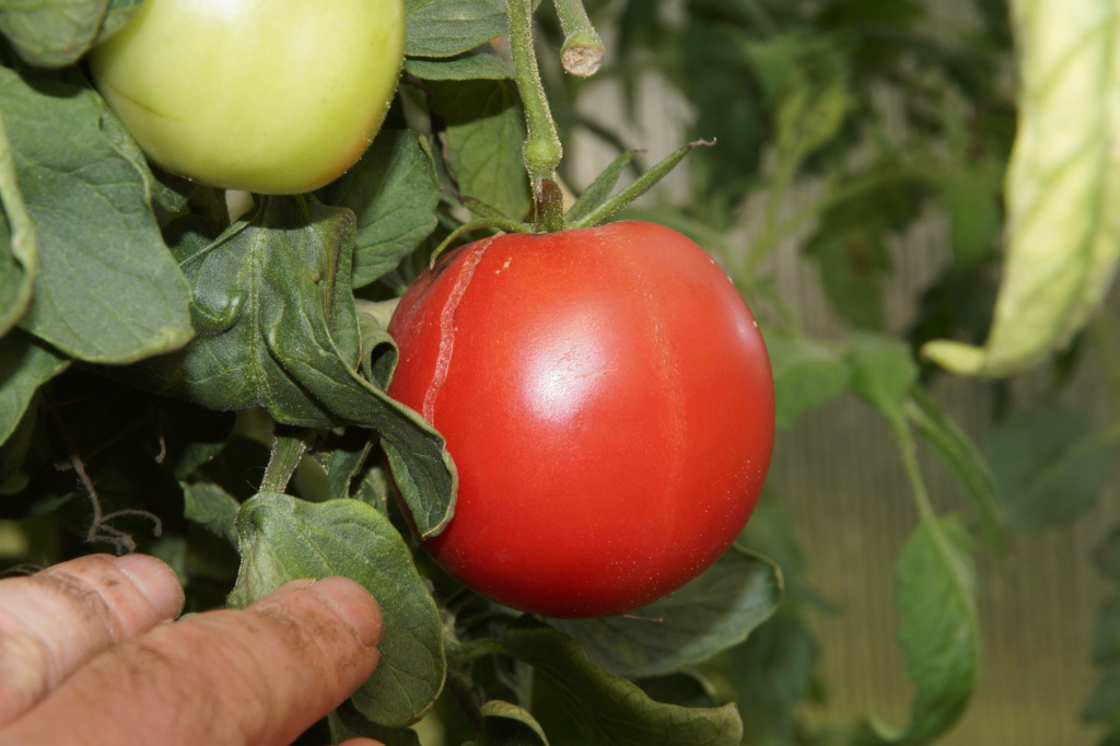 Solanaceae (Nachtschatten) - Tomaten & Chili, aber auch Petunien und andere Schönheiten - Seite 4 Dsc04721