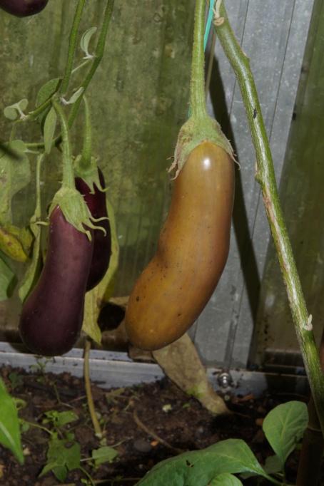 Solanaceae (Nachtschatten) - Tomaten & Chili, aber auch Petunien und andere Schönheiten - Seite 4 Dsc04722