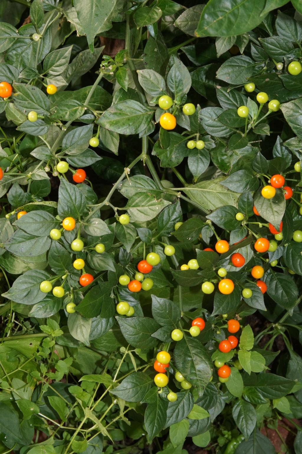 Solanaceae (Nachtschatten) - Tomaten & Chili, aber auch Petunien und andere Schönheiten - Seite 4 Dsc04723