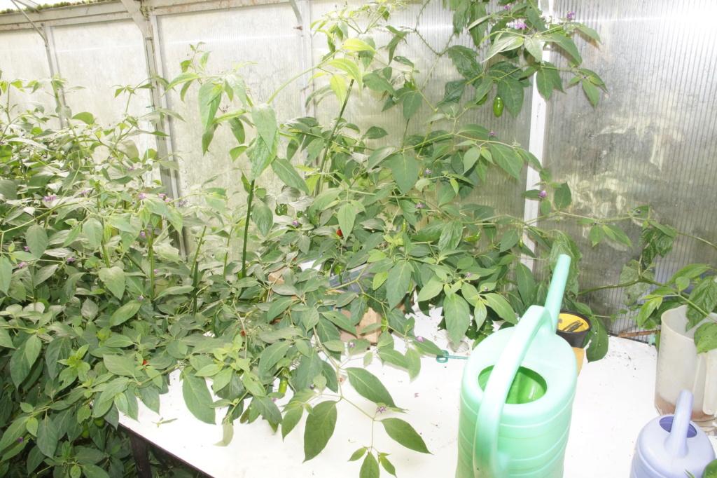 Solanaceae (Nachtschatten) - Tomaten & Chili, aber auch Petunien und andere Schönheiten - Seite 4 Dsc04724