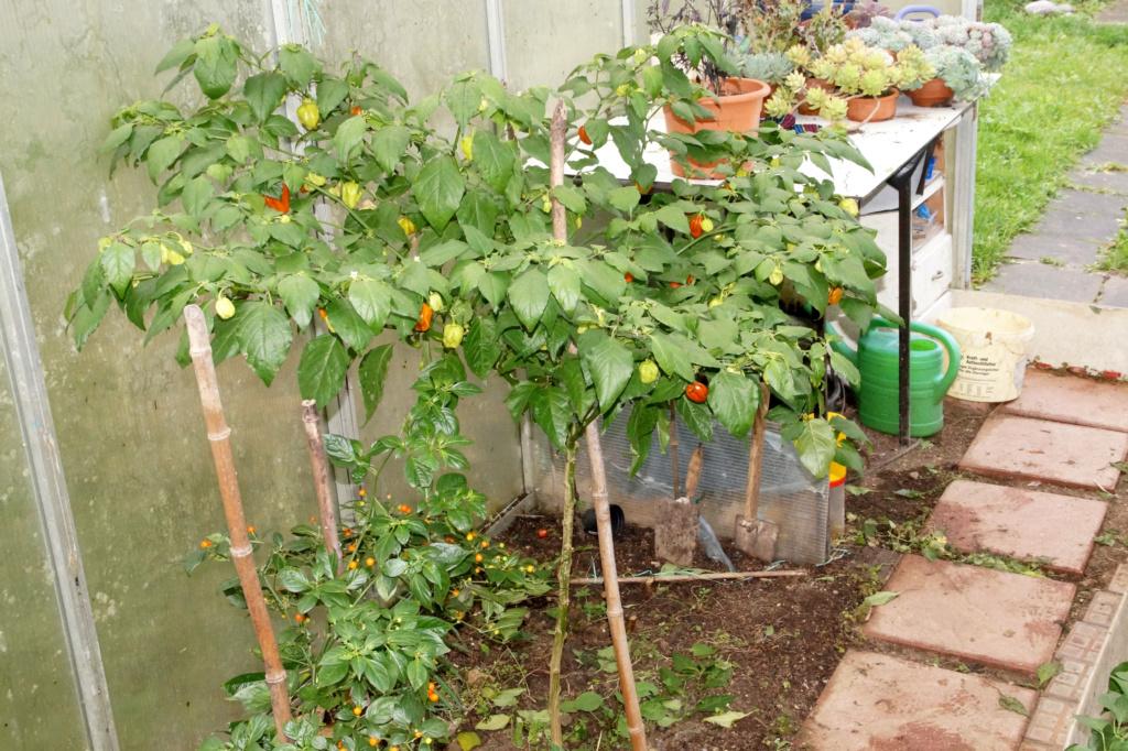 Solanaceae (Nachtschatten) - Tomaten & Chili, aber auch Petunien und andere Schönheiten - Seite 4 Dsc04817