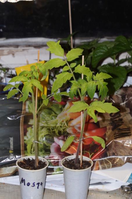 Solanaceae - Tomaten & Chili, aber auch Petunien und andere Schönheiten ;) - Seite 99 Dsc04911