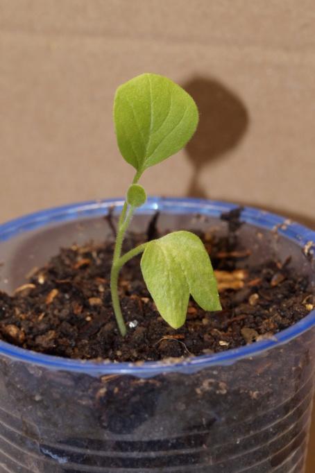 Solanaceae - Tomaten & Chili, aber auch Petunien und andere Schönheiten ;) - Seite 99 Dsc04913