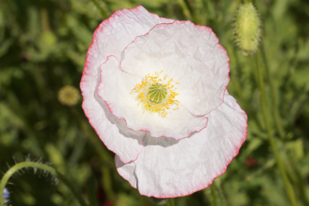 Mohn - Mohngewächse - Papaveraceae - Seite 6 Dsc05121